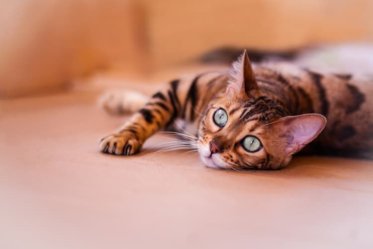 My lazy bengal kitten I bought from a great breeder last month. The costs are high, but this breed is lovely if you get quality. Exprect higher prices and costs.